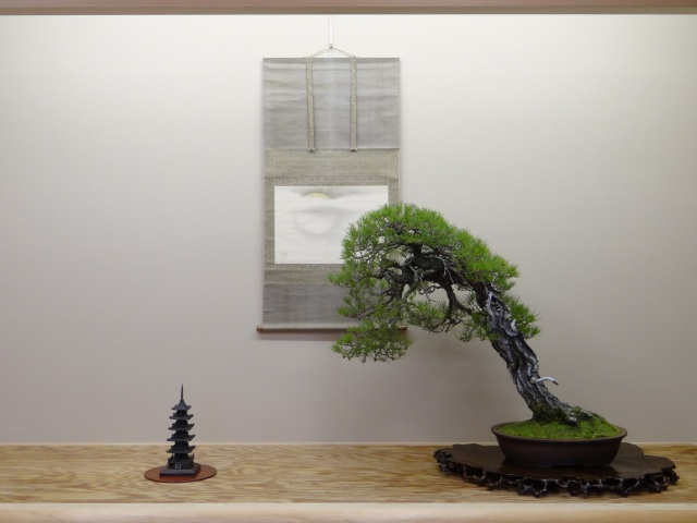 A red pine on display which I prepared for the last Taikan-ten